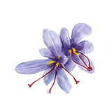 The national spice saffron on white background, watercolor illustration. In hand-drawn style Stock Illustration