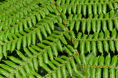 National symbol: Tree Fern in New Zealand Royalty Free Stock Photo