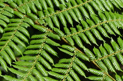 National symbol: Tree Fern in New Zealand Royalty Free Stock Photos