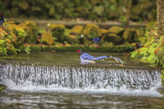 National treasure Taiwan blue magpie Stock Image