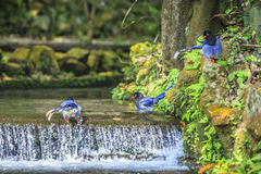 National treasure Taiwan blue magpie Royalty Free Stock Photography