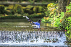 National treasure Taiwan blue magpie Stock Images