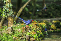National treasure Taiwan blue magpie Royalty Free Stock Image