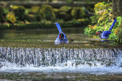 National treasure Taiwan blue magpie Royalty Free Stock Images