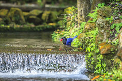 National treasure Taiwan blue magpie Stock Photography