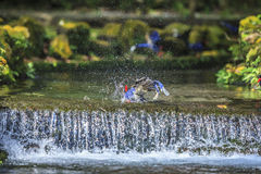 National treasure Taiwan blue magpie Stock Photos