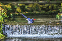 National treasure Taiwan blue magpie Royalty Free Stock Photo