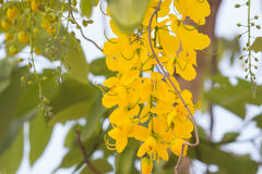 National tree of Thailand Golden Shower Royalty Free Stock Photo