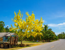 National tree of Thailand Golden Shower Tree Art Print Stock Photos