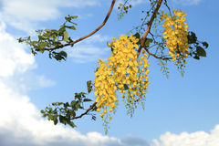 National tree of Thailand Golden Shower Tree Art Print Stock Image