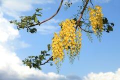 National tree of Thailand Golden Shower Tree Art Print Stock Image