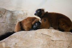 National Zoo: Red-ruffed Lemur (Varecia rubra) Stock Photo