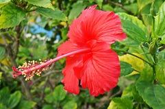Nationale bloemhibiscus Royalty-vrije Stock Afbeeldingen