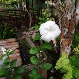 Nationale Blume Malaysias in der weißen Farbe Lizenzfreies Stockbild