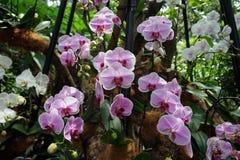 Nationale de Orchideetuin Singapore van Singapore van de orchideeëntuin Stock Afbeelding