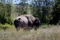 Nationale _oldest Schutzgebiete Bison Ranges Lizenzfreie Stockbilder
