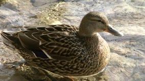 Nationale park-eend 2 van Plitvicemeren stock video