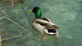 Nationale park-eend 5 van Plitvicemeren stock footage