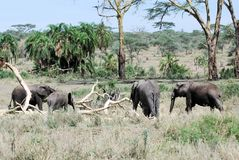 Nationale Park van Serengeti van groeps het Afrikaanse olifanten stock foto