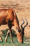 Nationalpark Addo-Elefanten, Ostkap, Südafrika Lizenzfreies Stockbild