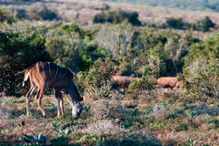 Nationalpark Addo-Elefanten, Ostkap, Südafrika Lizenzfreie Stockfotos