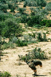 Nationalpark Addo-Elefanten, Ostkap, Südafrika Stockfotos