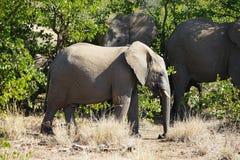 Nationalpark afrikanischer Elefant Kruger allein in der Wildnis lizenzfreies stockbild