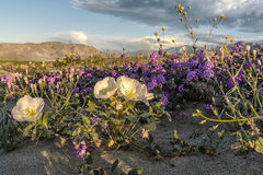 Nationalpark Anza Borrego Stockfoto