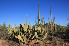 Nationalpark des Saguaro stockfoto