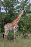 nationalpark för africa giraffkruger Arkivbilder