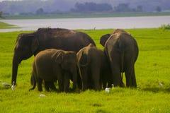 Nationalpark för asiatisk lös Eliphant - Sri Lanka minneriya arkivbild