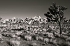 Nationalpark för Joshua Tree Arkivfoto