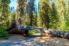 Nationalpark f?r tunnelinloggningssequoia Tunnel som 8 ft ?r h?g, 17 ft vitt Kalifornien F?renta staterna royaltyfria foton