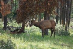 Nationalpark Kanada Elche Elch lizenzfreies stockbild