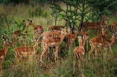 Nationalpark Pilanesberg Stockbild