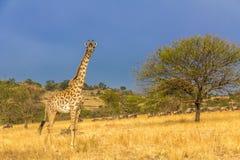 Nationalpark Serengeti in Nordwest-Tansania lizenzfreie stockfotos