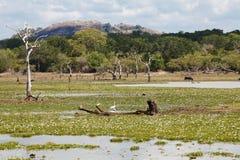 Nationalpark Yala in Sri Lanka Stockbilder