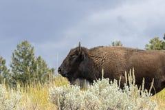 nationalpark yellowstone för amerikansk bison arkivbild