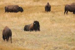 nationalpark yellowstone för amerikansk bison royaltyfria bilder