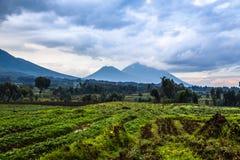 Nationalparklandschaft Virunga-Vulkans mit grünem Ackerlandfeld Stockfotos