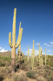 nationalparksaguaro Royaltyfria Bilder