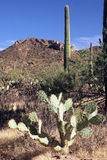 nationalparksaguaro Royaltyfri Foto