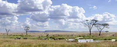 nationalparkserengetitanzania sebror Royaltyfri Bild