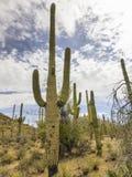 Nationell monument för Saguaro royaltyfri bild