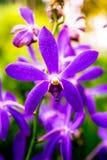 Nationell orkidéträdgård i Singapore Royaltyfri Fotografi