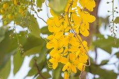 Nationellt träd av Thailand den guld- duschen royaltyfri foto