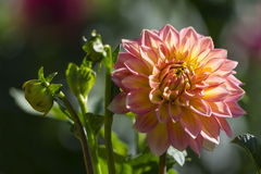 Nationwide Dahlia in Bloom and Buds Stock Photo