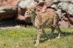 Cheetah - Acinonyx jubatus. Native of Africa, a captive female cheetah walks in the grass at the zoo. Toronto, Ontario, Canada stock images