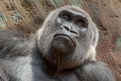 Western Lowland Gorilla - Gorilla gorilla Royalty Free Stock Photo