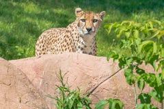 Cheetah - Acinonyx jubatus. Native of Africa, a female Cheetah standing behind a rock staring intently at the zoo. Toronto, Ontario, Canada Stock Photo